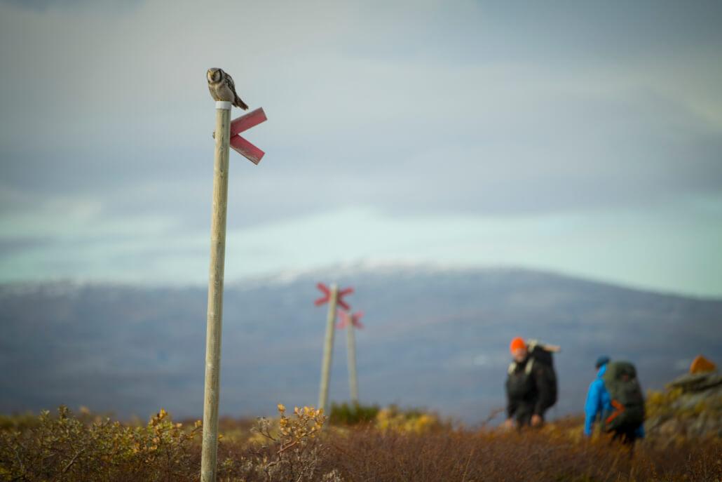 En uggla som sitter på ett ledkryss i förgrunden. I bakgrunden syns kalfjäll och två vandrare som tittar mot ugglan.