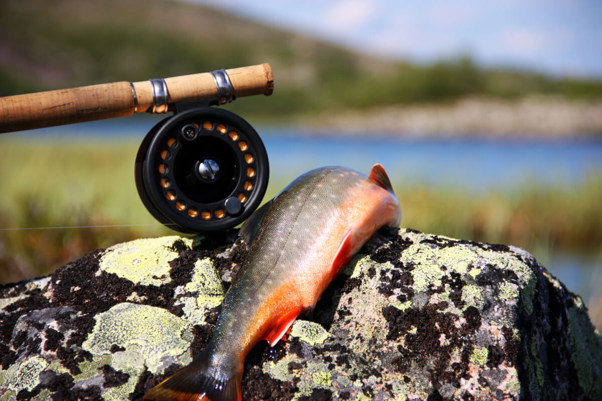En röding ligger över en sten vid en sjö. Ett slugfiskespö ligger till vänster om rödingen.