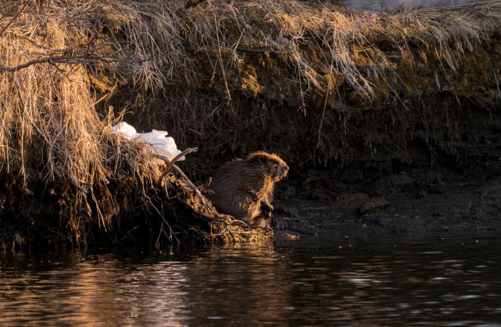 En bäver i solnedgång vid en sjökant.