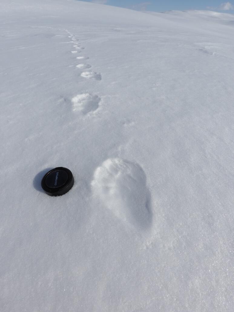 Järvspår i snön