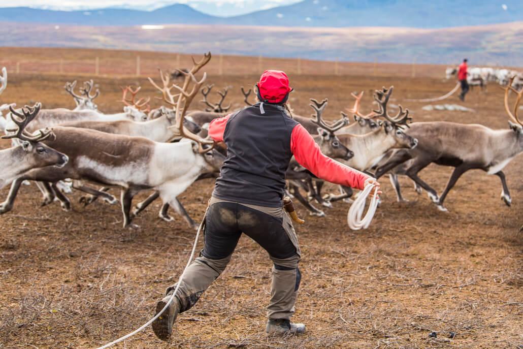 Person med ryggen mot kameran kastar lasso mot springande renar.