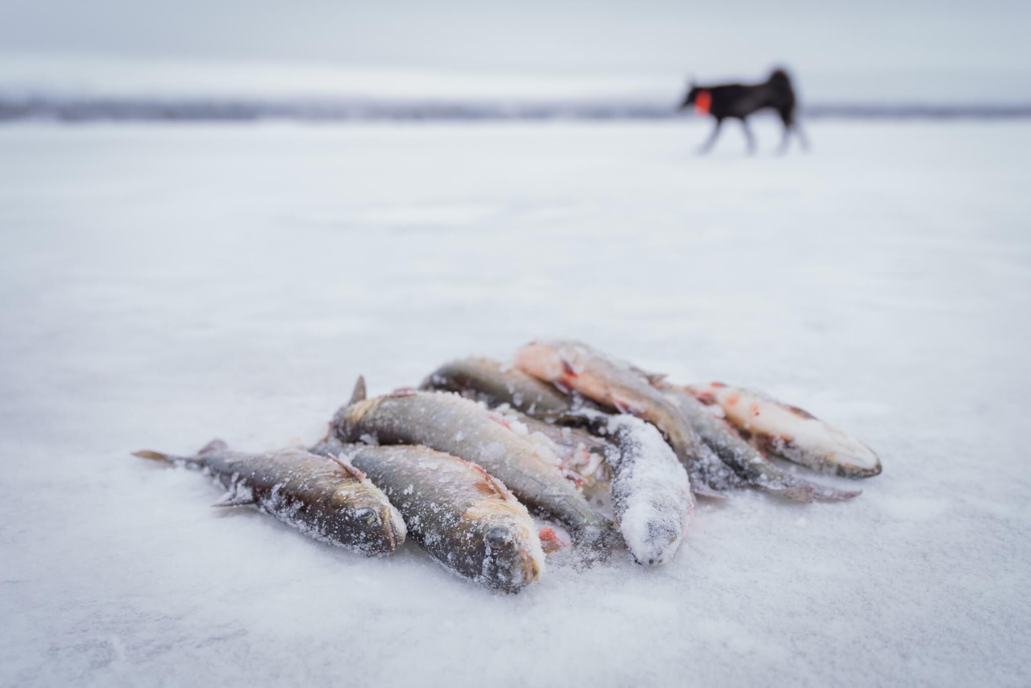 Fiskar ligger i en hög på en is. i bakgrunden syns en svart hund.